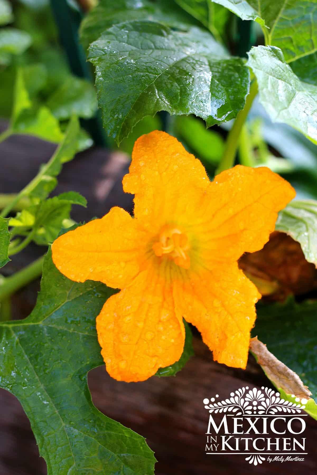 female squash blossom - 1