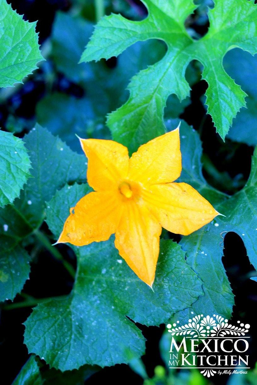 male squash blossom - 1