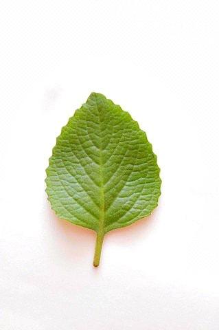 oreganon herb